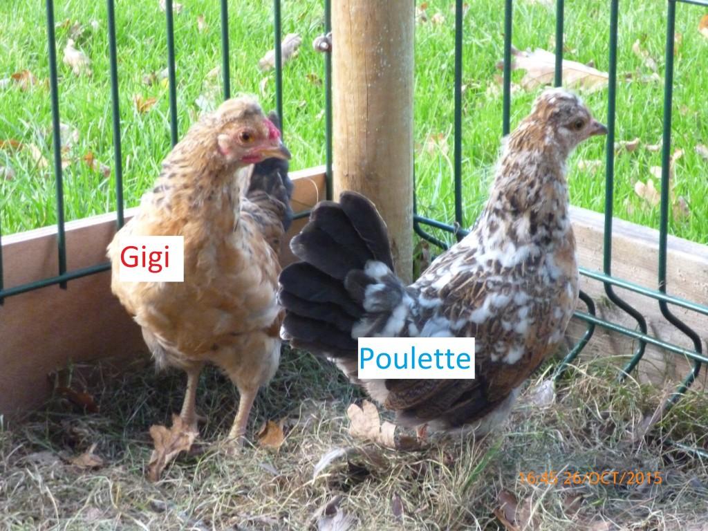 Nos poules ont à présent chacun leur prénom !!!